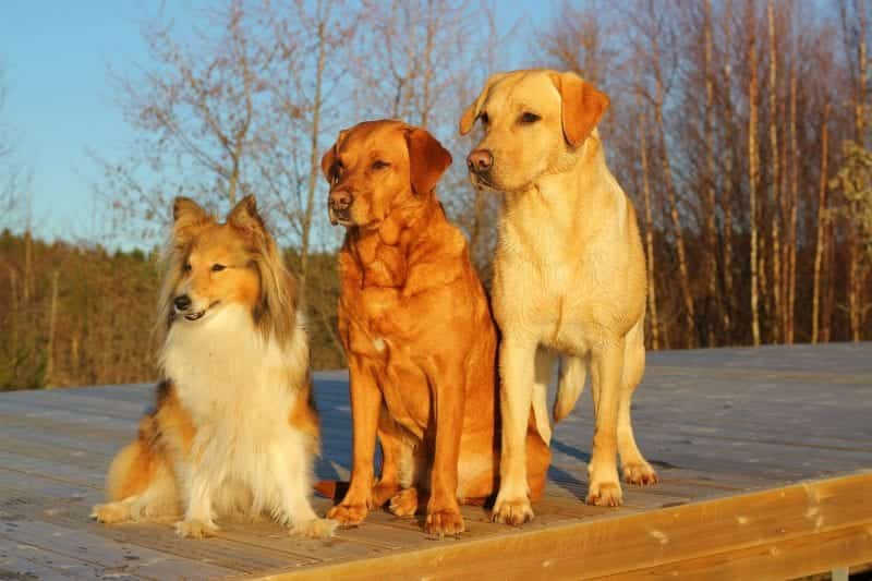dogs in an established pack